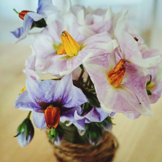 Flower Fragility Petal Nature No People Beauty In Nature Flower Head Close-up Freshness Day Indoors  Potatos Kartoffel
