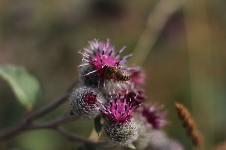 Flower Flower Head Thistle Pollination Bee Insect Purple Butterfly - Insect Close-up Animal Themes
