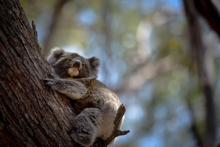 Koala Wildlife