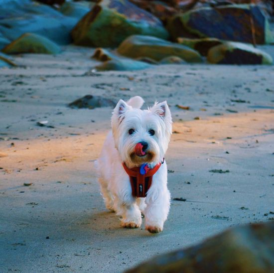 Dog at the beach Dog Pets Domestic Animals Beach Animal Themes Sand One Animal Mammal West Highland White Terrier Outdoors Portrait No People Looking At Camera Nature Day Sticking Out Tongue Sitting Water Close-up
