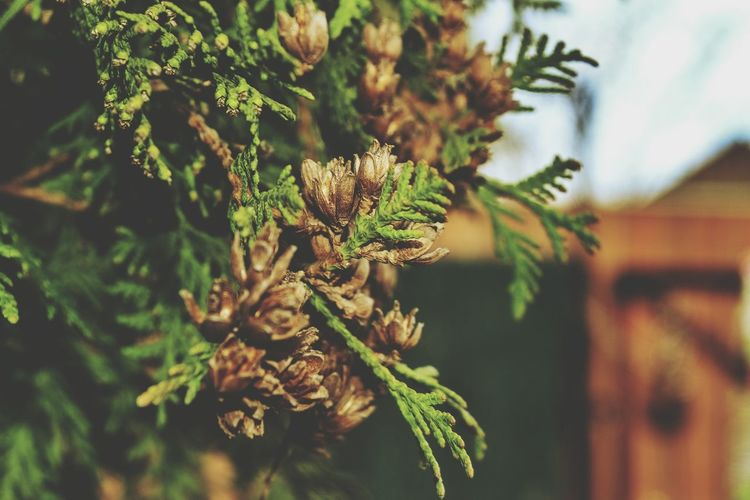 Close-up of spruce cones on twigs