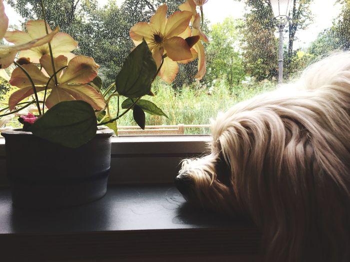 Havaneser, dog, pet, Animal,Windows,havaneser