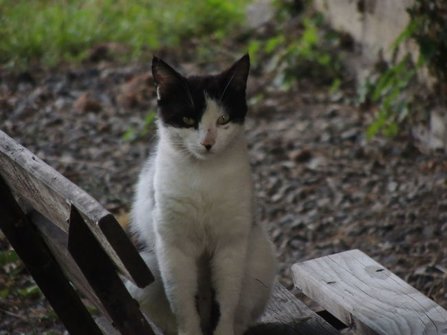 Cat Day Domestic Domestic Animals Domestic Cat Feline Focus On Foreground Looking At Camera Mammal No People One Animal Pets Portrait Relaxation Sitting Vertebrate Whisker Wood - Material