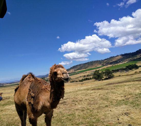 Mobilephotography Travel Destinations Nature Tasmania Trees And Sky Hobart Animal Themes Animal Pets Sand Dune Dog Sand Sky Animal Themes Cloud - Sky Camel