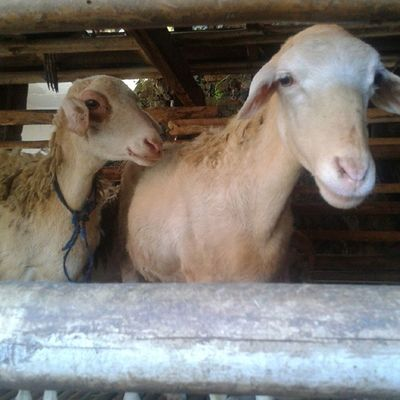 domba domba kesayan666an 😍😸🐏 Naonweh Capruk Marab Mbe Sheep Domba Jono JoNi Instadomba Instasheep Instambe Instacapruk InstaMiInstan SalamKurupuk