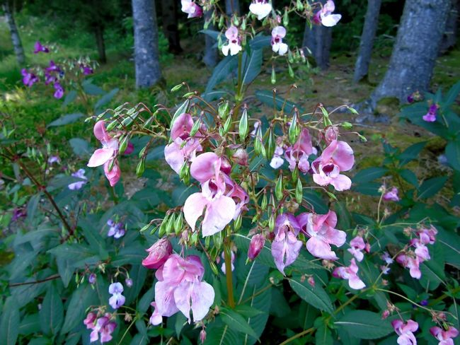 Himalayan Balsam (Springkraut) Beauty In Nature Close-up Day Flower Flower Head Flowering Plant Fragility Freshness Growth Himalayan Balsam Invasive Species Leaf Nature No People Outdoors Petal Pink Color Plant Plant Part Purple Springkraut Vulnerability