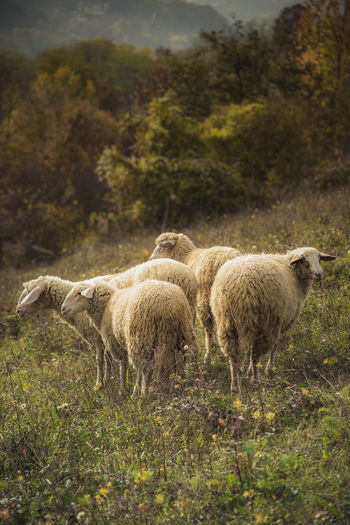 Sheep grazing grass in an open summer field Animal Themes Beauty In Nature Day Domestic Animals Field Grass Growth Livestock Mammal Mountain Nature No People Outdoors Standing Togetherness