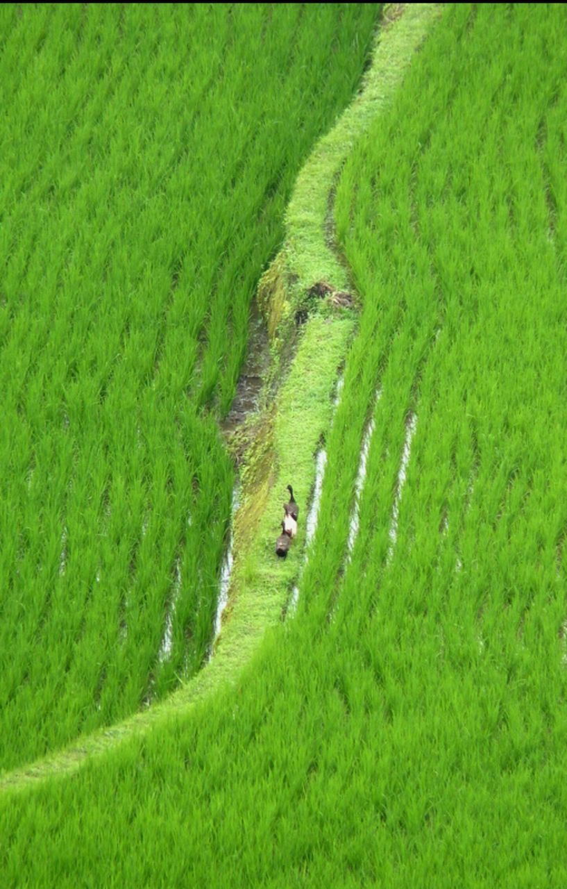 grass, field, farm, green color, nature, agriculture, growth, tranquil scene, landscape, rural scene, high angle view, tranquility, day, no people, scenics, beauty in nature, outdoors, animal themes, domestic animals, mammal, rice paddy