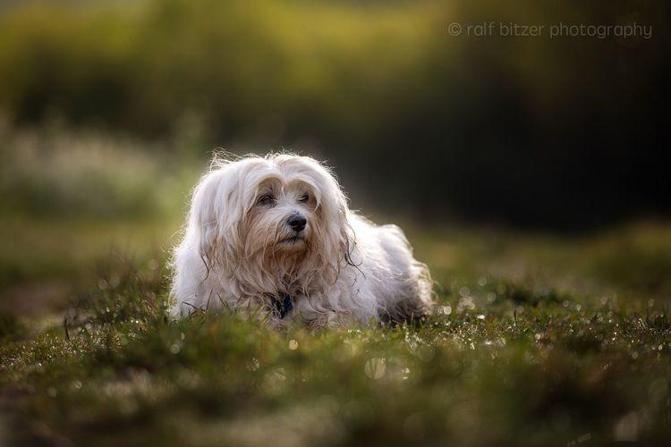 Dog Animal Themes One Animal Pets Grass No People Mammal Nature Outdoors Day Havanese Domestic Animals Season  Nature
