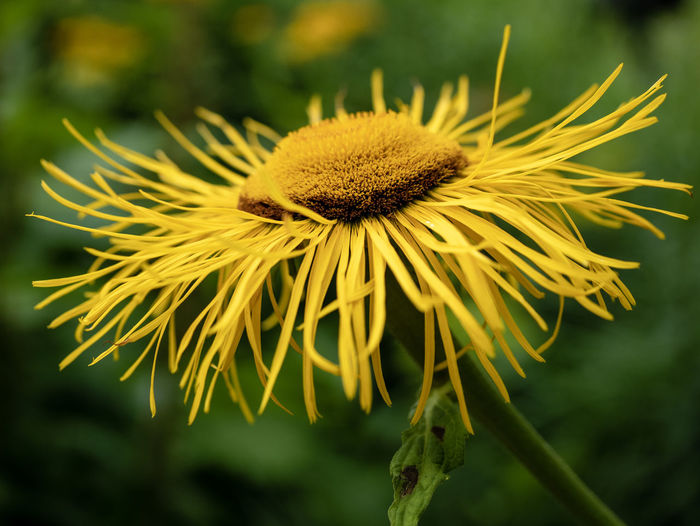 Sunflower Close-up Flower Flower Head Focus On Foreground Growth Macro No People Outdoors Petal Plant Pollen Yellow