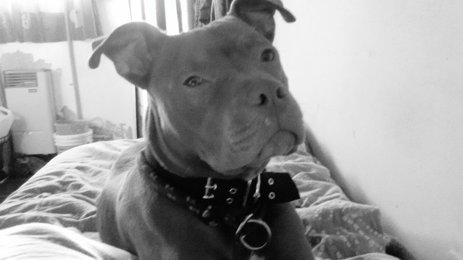 Pitbull Pets And Animals