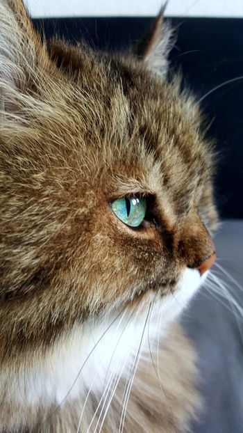 My ❤😆 Norwegian Forest Cat One Animal Animal Themes Domestic Animals Mammal Pets Close-up Domestic Cat Animal Head  Feline Animal Body Part No People Animal Eye Outdoors Day Cat EyeEmNewHere