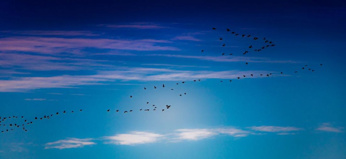 Flying Sky Cloud - Sky Large Group Of Animals Bird Animal Themes Animals In The Wild Low Angle View Animal Animal Wildlife Group Of Animals Flock Of Birds Vertebrate Blue Nature Mid-air Beauty In Nature No People Day Silhouette