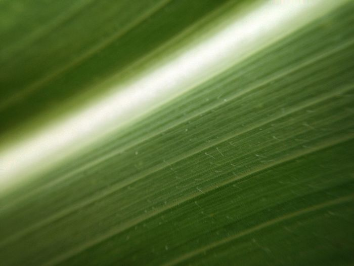 Design Lines Parallel Corn Texture Macro Green Color Leaf Full Frame Plant Part Backgrounds No People Growth Wet Leaf Vein Freshness Tranquility Banana Leaf Natural Pattern Plant Pattern Beauty In Nature Nature Close-up Palm Leaf