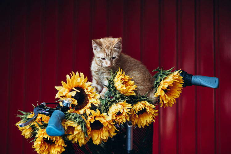 Close up of vintage framed bicycle with ginger kitten and sunflowers in basket standing on red