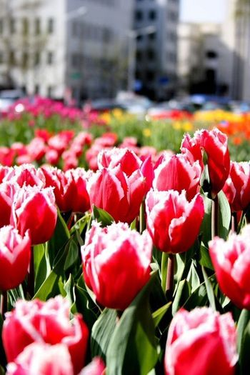 Flower Petal Nature Fragility Beauty In Nature Freshness Flower Head Tulip Growth Red Outdoors Day Plant No People Blooming Building Exterior Leaf Springtime Close-up Architecture I Want To Know Your Secret, C I Always Thinking About U, G Thank You,❤️ Thankyou 감사합니다