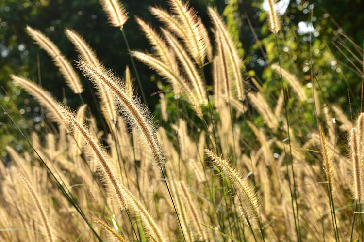 A close up view of beautiful cogon grass. Beauty In Nature Cereal Plant Close-up Cogon Grass Day Field Freshness Grass Growth Nature No People Outdoors Plant Tranquility Wheat