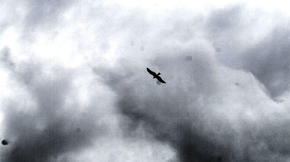 Eagle - Bird Flying Bird Animal Themes Eagle In Flight Freedomexpression