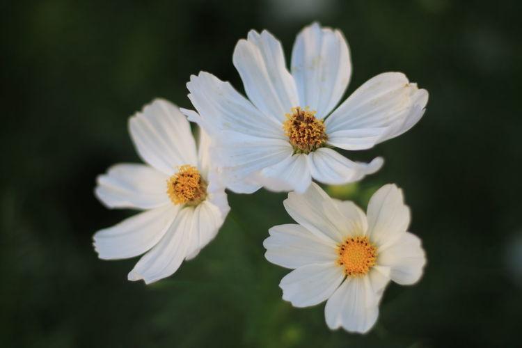 In Bloom Daisy