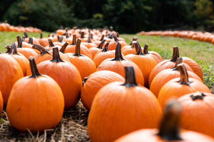 Close-up of pumpkins on field