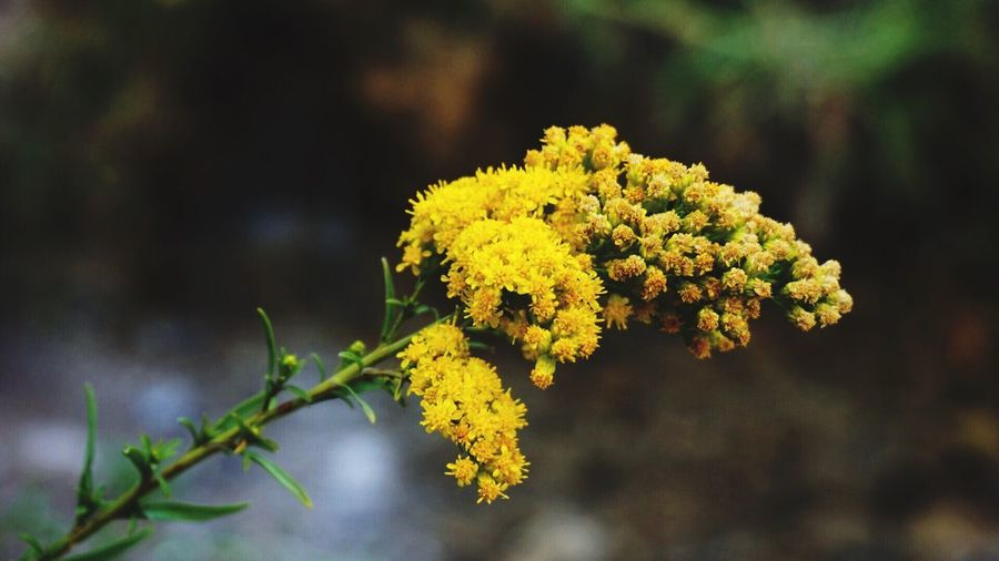 Paint The Town Yellow Flower Yellow Nature Beauty In Nature Freshness Outdoors Blooming Close-up