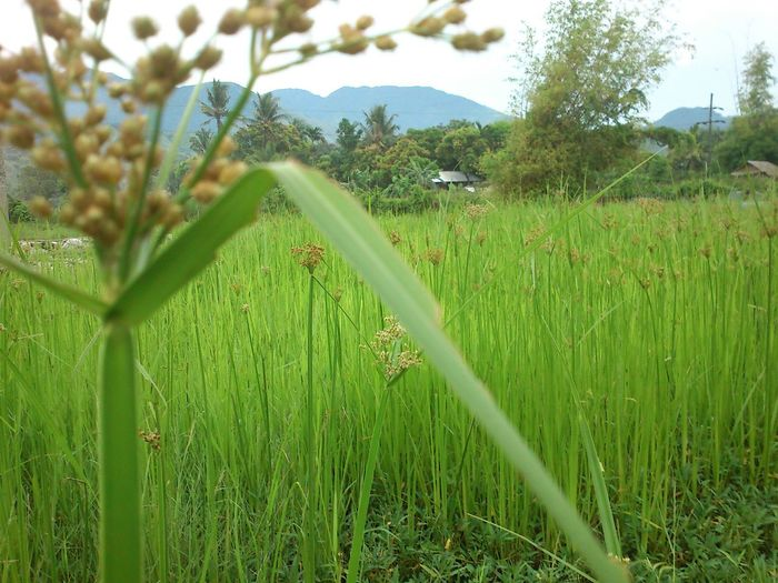 Fields Tall Grass Green Nature Lost In Paradise Leisure ActivityGrassland Grassfield Beauty In Nature Outdoors Farmland Farm Day Global Warming Philippines Wilderness Green Grass