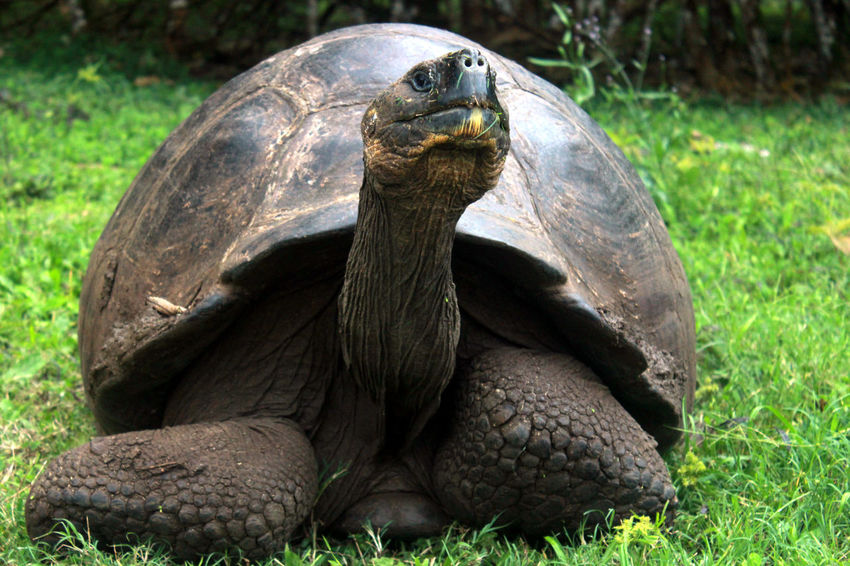 Galapagos Galapagos Tortoise Animal Shell Animal Themes Animal Wildlife Animals In The Wild Close-up Day Giant Tortoise Grass Nature No People One Animal Outdoors Reptile Tortoise Tortoise Shell Turtle