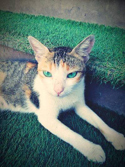 Cute cat Pets Portrait Feline Domestic Cat Looking At Camera Theatrical Performance Close-up Green Color