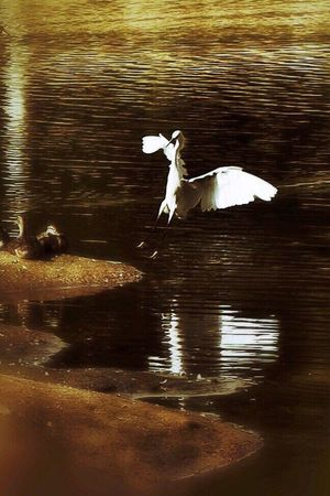 Landing Egret Bird Pond Light And Shadow Kit Carson Park