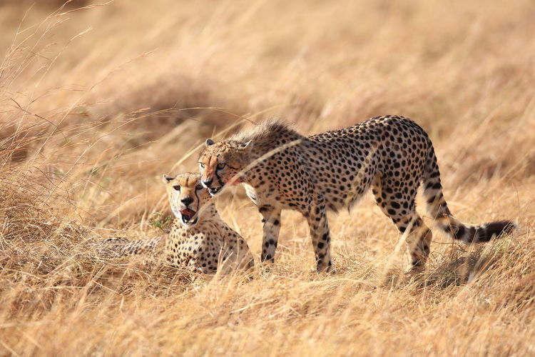 Two cheetahs on field