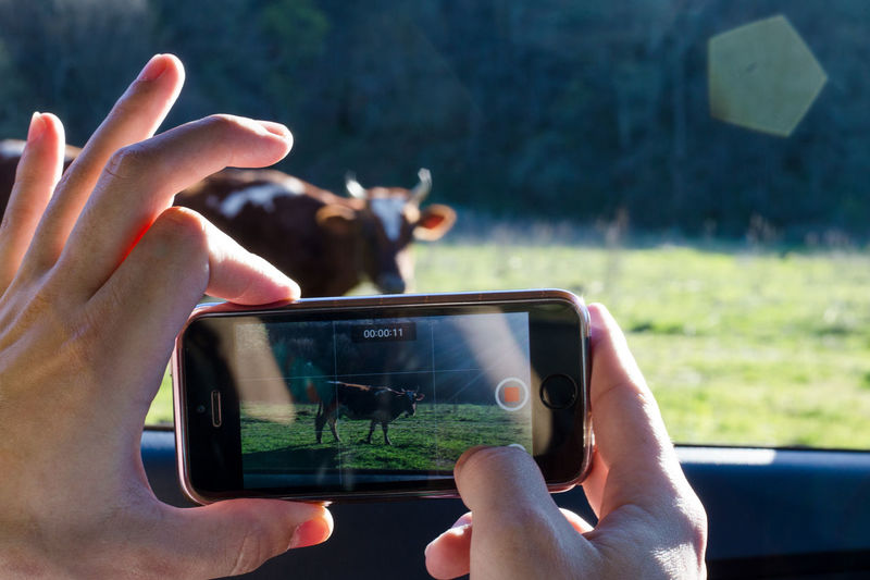 Cow Hand Human Hand Lifestyles Mobile Phone Outdoors Photographing Photography Themes Smart Phone Technology
