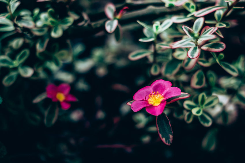 Backgrounds Beautiful Beauty In Nature Blooming Close-up Copy Space Day Delicate Dramatic Flower Flower Head Fragility Freshness Growth Leaf Light And Shadow Matte Nature Outdoors Petal Pink Color Plant Rose - Flower Selective Focus Tunnel The Week On EyeEm