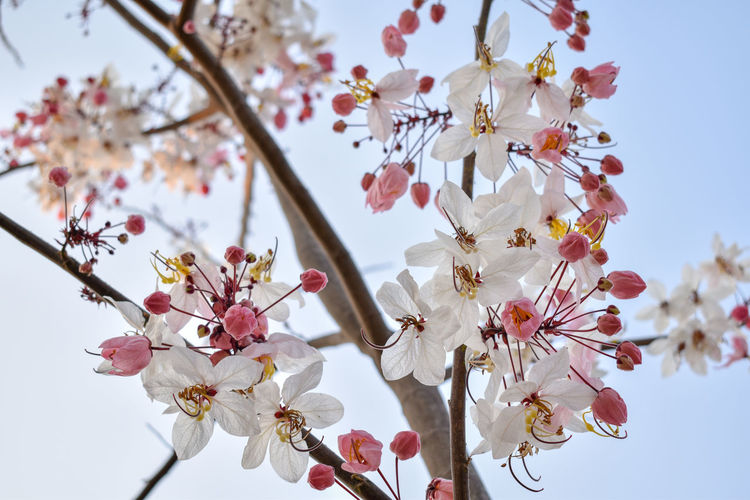 cassia Nature Botany Cassia Flower Head Tree Flower Branch Springtime Plum Blossom Pink Color Clear Sky Apricot Petal In Bloom Stamen Blossom Blooming Plant Life Flower Tree