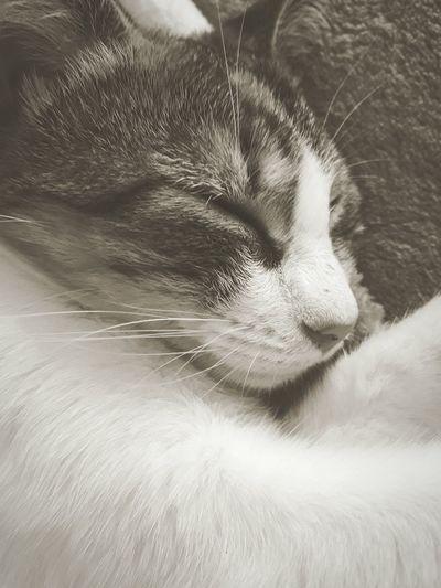 Cat Cat Feline Cat Pets