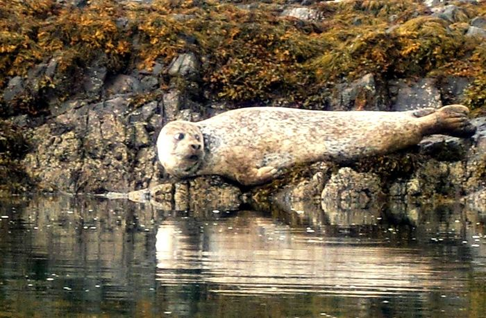 Baby Seal Seascape Wildlife Sea Creatures Seascape