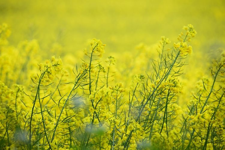 Cow Parsley Rapeseed Field Wiltshire Farmland Growth Plant Yellow Beauty In Nature Field Nature Agriculture Land Tranquility Green Color Crop  Farm Rural Scene Landscape