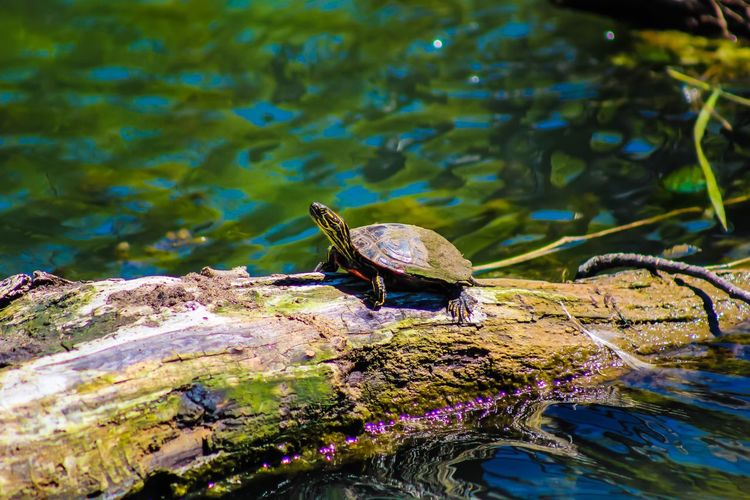 Animals In The Wild Water One Animal Animal Wildlife Animal Themes Turtle 🐢 Turtle Cuteness TurtlePower Turtle In The Sun Turtle Time Nature Lake No People Outdoors Day Close-up Beauty In Nature