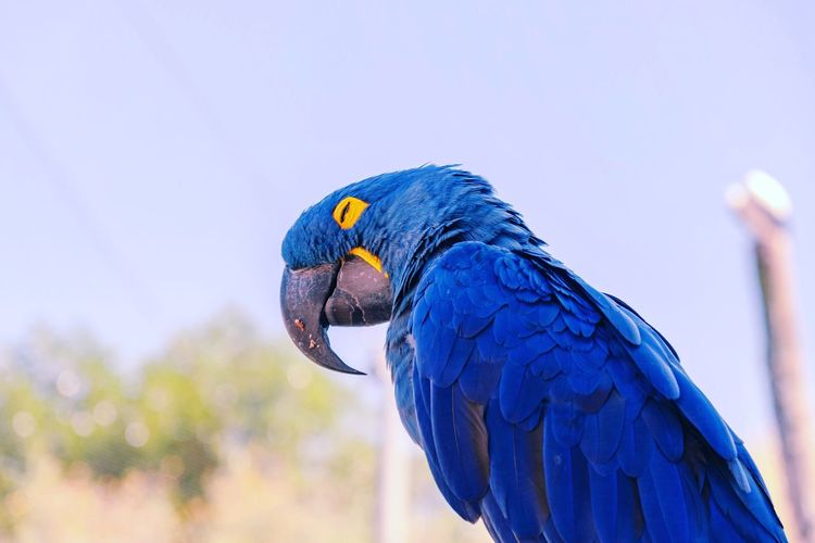 ara hyacynthe EyeEm Selects Macaw Bird Parrot Peacock Blue Beak Feather  Close-up Gold And Blue Macaw Tropical Bird Tropical Rainforest Cockatoo Perching Hummingbird Rainforest HEAD Scarlet Macaw