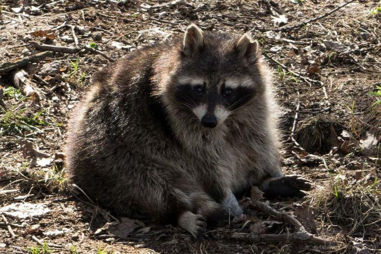 One Animal Looking At Camera Outdoors Raccoon Nature Nature Animal