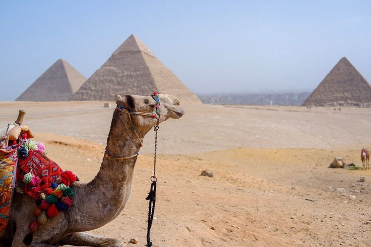 Camel at Pyramids of Giza Egypt Pyramid Desert Architecture Ancient Camel The Past Ancient Civilization History Travel Destinations No People