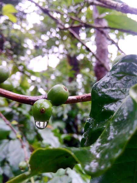 Coffee Beans Arabicacoffee Robustacoffee Waterdrops Monsoon In India Drop Monsoon Greenery Coffeeplantation Coffeeplant