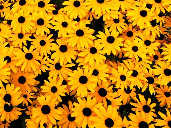 Cheerful black eyed Susan's Nature Photography Naturelovers Fresh Cheerful Happiness Happy Yellow Flower Yellow Flower Yellow Petal Black-eyed Susan Nature Beauty In Nature Flower Head Field Backgrounds Fragility Freshness No People Outdoors Close-up Blooming Day