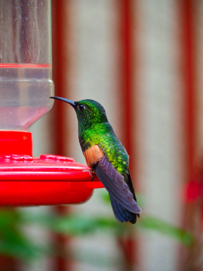 Nature - Birds Animal Themes Animal Bird Animals In The Wild Vertebrate Animal Wildlife One Animal Day No People Outdoors Costa Rica Nature On Your Doorstep Nature Photography EyeEm Nature Lover Beauty In Nature One Bird Hummingbird Perching Focus On Foreground Bird Feeder Red Close-up Green Color Full Length Side View Beak Blurred Background