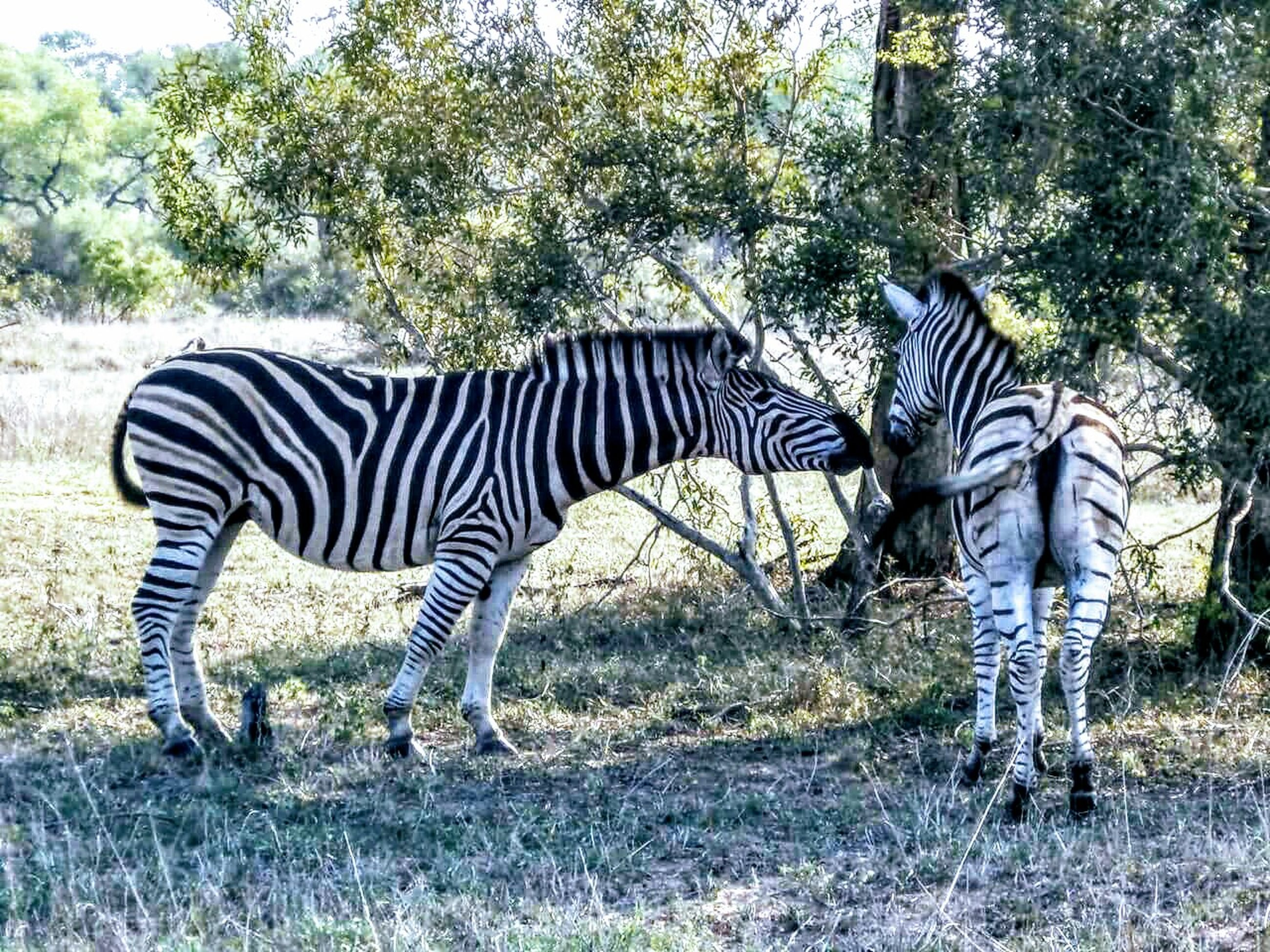 striped, zebra, animals in the wild, animal wildlife, animal themes, mammal, animal markings, tree, day, safari animals, outdoors, grass, nature, side view, standing, full length, beauty in nature, no people