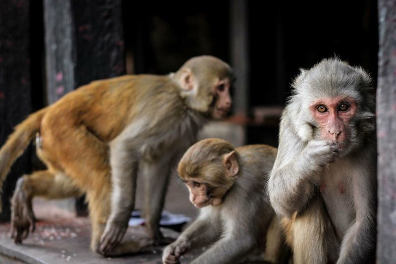Monkeys in Kathmandu Wildlife Monkey World ASIA Traveling Travel Mammal Primate Group Of Animals Vertebrate Animals In The Wild Young Animal Animal Wildlife Care Three Animals People Animal Family Focus On Foreground Young Baby Looking Day The Traveler - 2018 EyeEm Awards