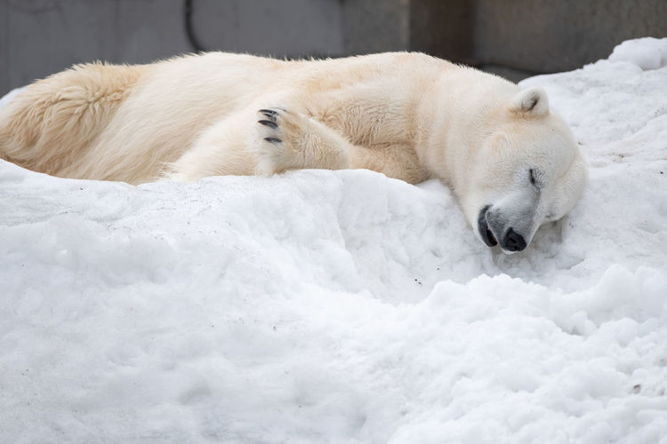Mammal Animal Polar Bear Animal Themes Snow Bear Cold Temperature Relaxation White Color Winter One Animal Lying Down Sleeping Resting Animals In The Wild Animal Wildlife Vertebrate Nature No People Outdoors Napping