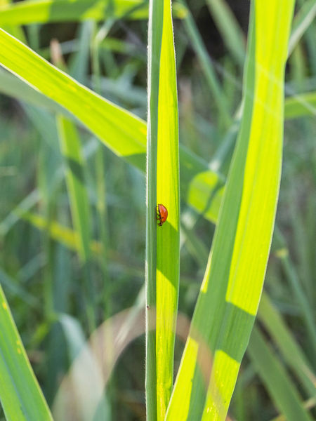 sunlit ladybird Bug Green Ladybirds 🐞 Animal Themes Animal Wildlife Animals In The Wild Beauty In Nature Blade Of Grass Close-up Day Focus On Foreground Grashalm Grass Green Color Growth Insect Ladybird Ladybird Beetle Ladybirds Leaf Nature No People Outdoors Plant Sunlit