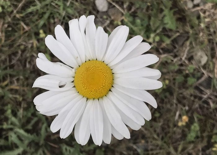 Daisy blossom. Daisy Flower Flower Head Petal Pollen White Color White Petals Plant Blooming Close-up Yellow Horizontal