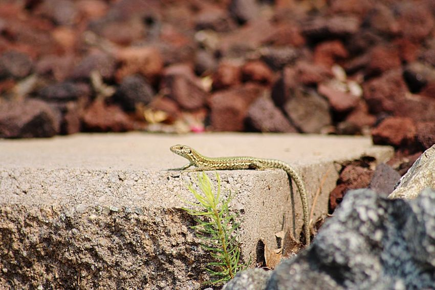 EyeEm Selects Animals In The Wild One Animal Rock - Object Animal Themes Animal Wildlife Day Selective Focus No People Outdoors Nature Insect Reptile Close-up European Wall Lizard Yyj CRD Victoria Victoria Bc Alligator Lizard