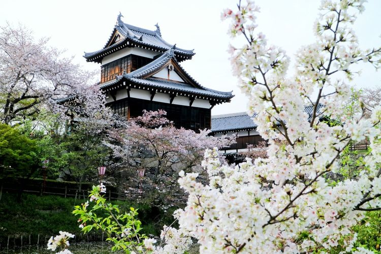 Cherry blossom trees against buddhist temple